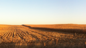 "This photo shows a cornfield near Davenport, Iowa where ""Children of the Corn"" was filmed. Davenport is part of an area known as The Quad Cities that include four counties in southeast Iowa and northeast Illinois. Photo courtesy of physics.org."