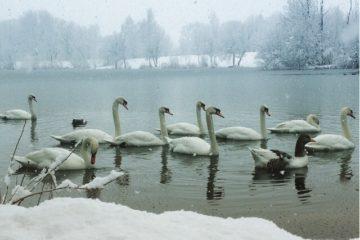swans-83-1